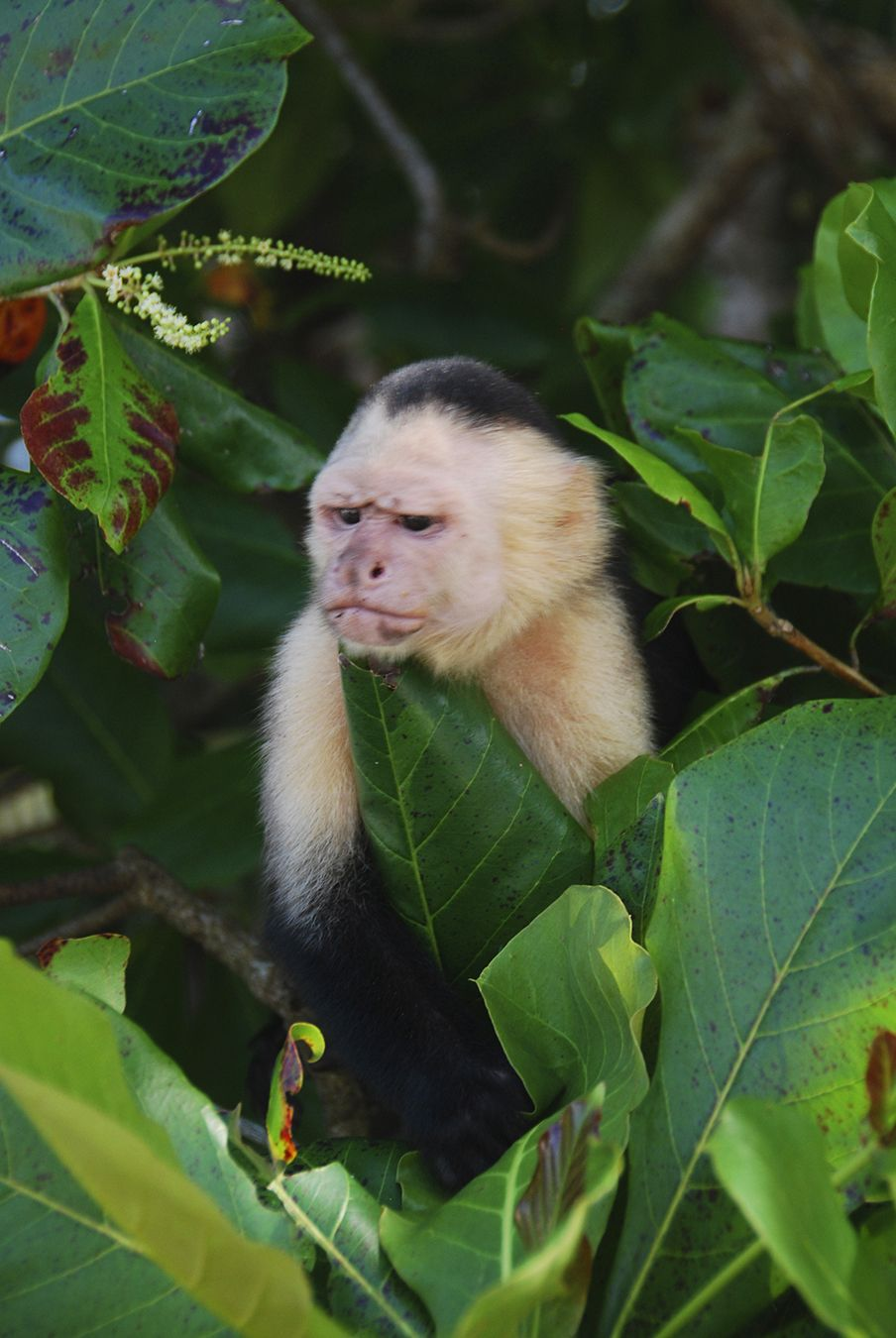 White faced monkey, Manuel Antonio National Park, Costa ...