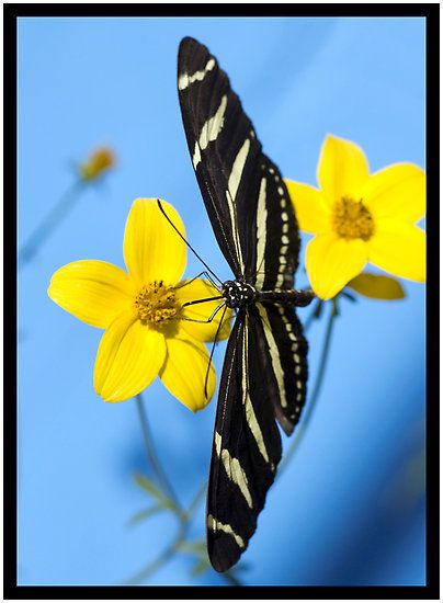 Via A Zebra Longwing Butterfly Heliconius Charitonius Is Sipping Nectar From A Flower By Eyal Beautiful Butterflies Butterfly Flowers Hummingbird Flowers