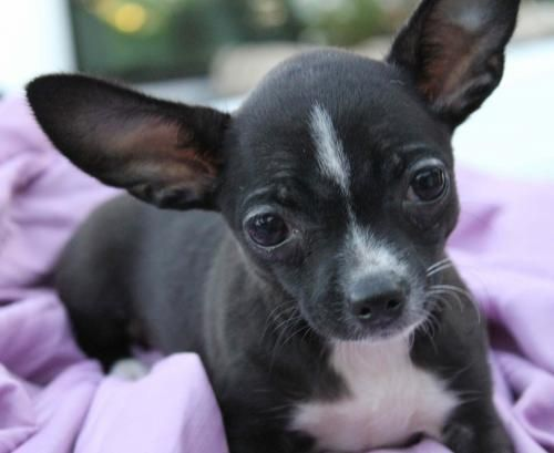 Adopt Coco On Chihuahua Dogs Animal Shelter Adoption Chihuahua