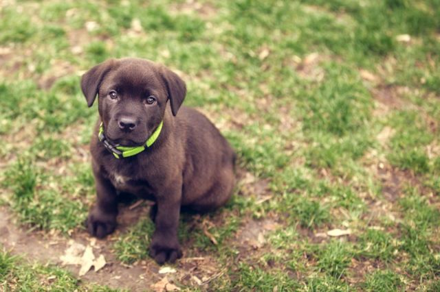 The 16 Best Things About Owning A Labrador Retriever With Images