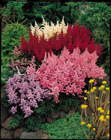 Astible perennial northeast beloved for handsome for Colorful low maintenance perennials