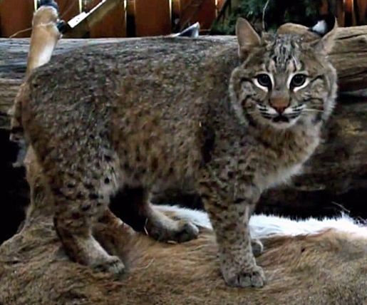 Lake Metroparks cares for two orphaned bobcats