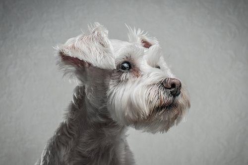 Zoe Jones Things Roxie Schnauzer Dogs Miniature Schnauzer Schnauzer
