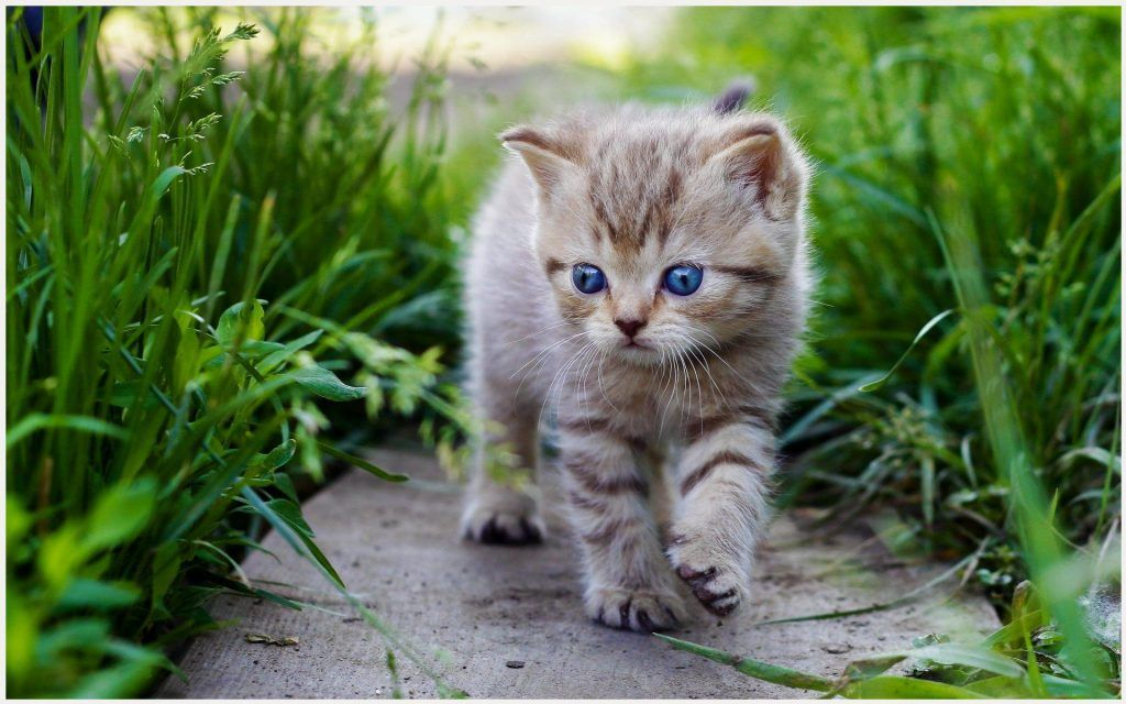 White Cat With Blue Eyes Hd Wallpaper White Cats With Blue Eyes