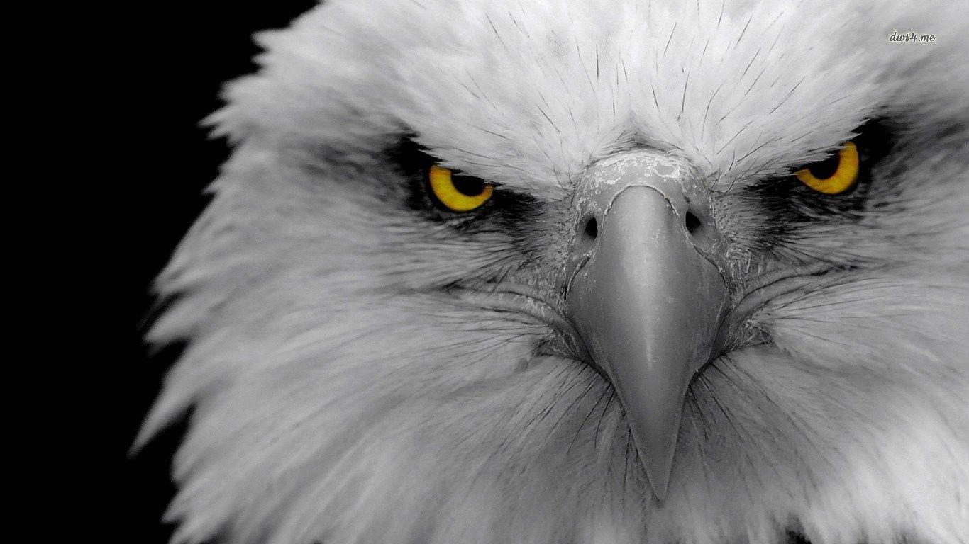 High Resolution Wallpapers Widescreen Bald Eagle Eagle