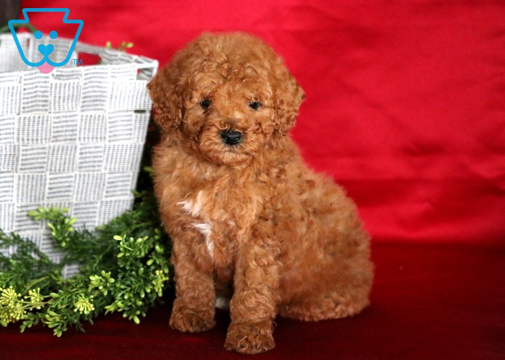 Hunter Miniature Puppies Goldendoodle Miniature Puppies For Sale