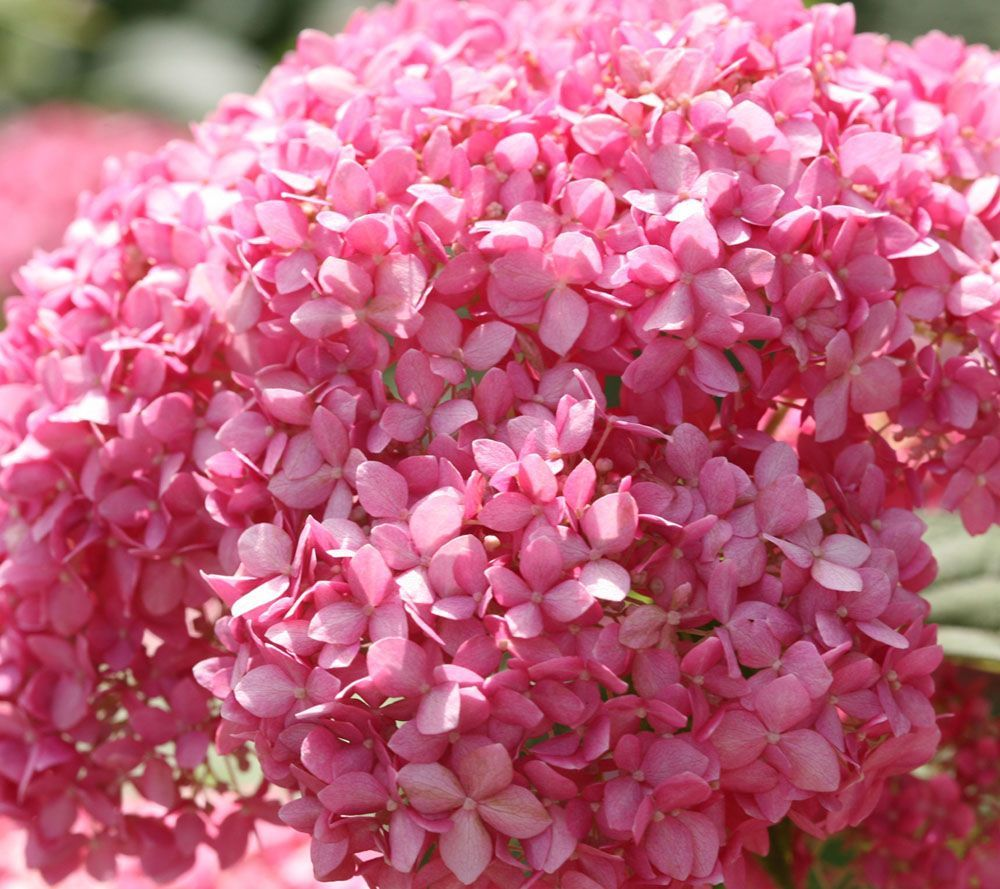 Liven Up Your Landscaping With This Hydrangea Duo From Cottage Farms The Two Actively Growing Pl Reblooming Flowers Hydrangea Not Blooming Hydrangeas For Sale