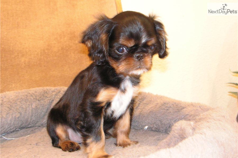 Akc English Toy Spaniel English Toy Spaniel Spaniel Puppies For