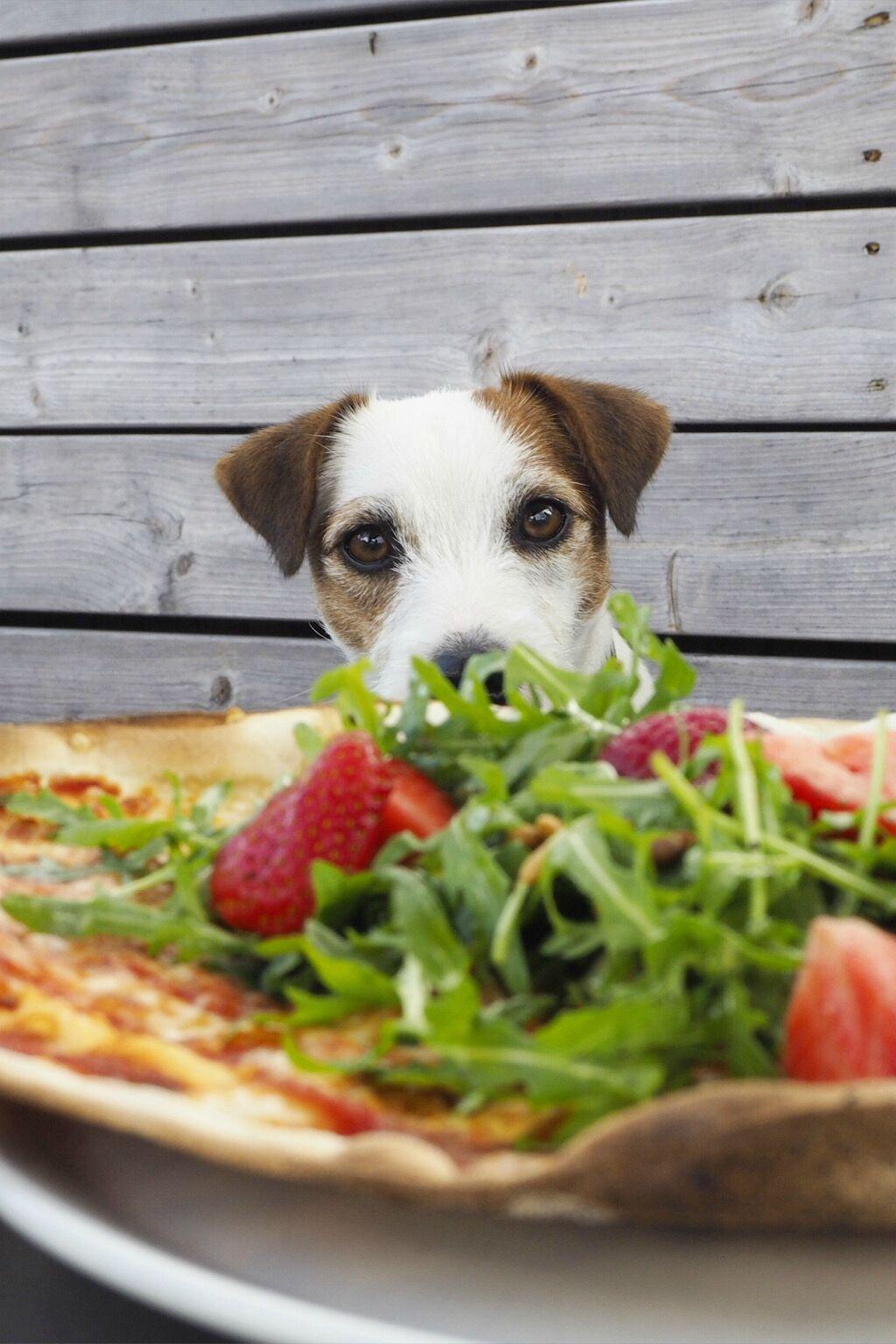 Resultado de imagen para jack russell pizza