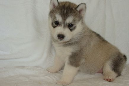 Siberian Husky Puppies Westchester Husky Puppies For Sale Husky