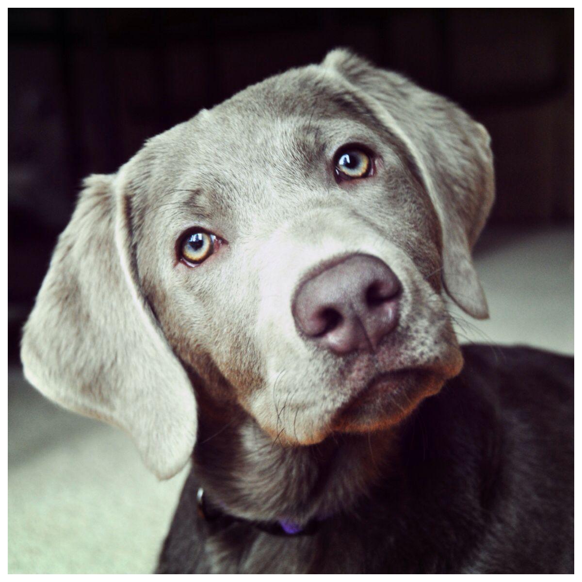 Silver Lab Grey Labrador Retriever Labs Gracie | Silver ...