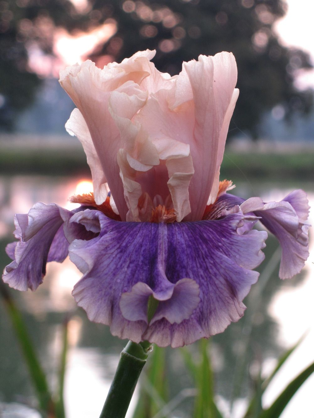 Photo Of The Bloom Of Tall Bearded Iris Iris Paris Memory Posted By Barashka All Things Plants Bearded Iris Iris Flowers Iris Garden