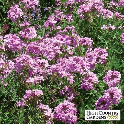 Exclusive verbena annie is a truly cold hardy long lived long is a truly cold hardy long lived long blooming perennial verbena the lightly fragrant lavender pink flowers start up in mid spring and are continuous mightylinksfo