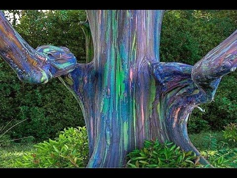 Rainbow Tree seed germination How to germinate rainbow