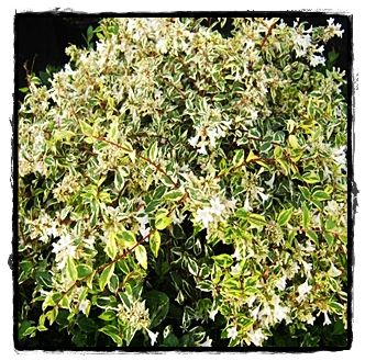 Twist Of Lime Abelia See The Plant Information Index For More