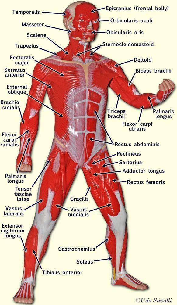 Muscle Man Ap2innescle Pinterest Muscle Muscle Men