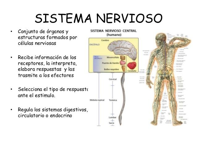 sistema nervioso y endocrino - Buscar con Google   sistema nervioso ...