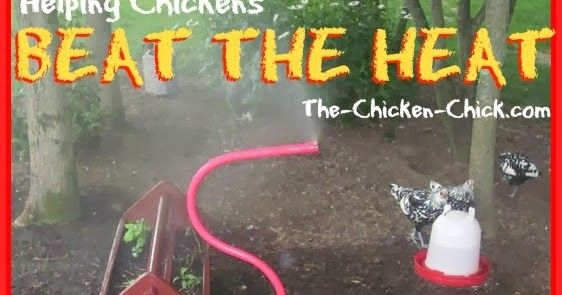 High heat is dangerous for chickens and measures must be taken by their caretakers to ensure their well-being, particularly when tempera...