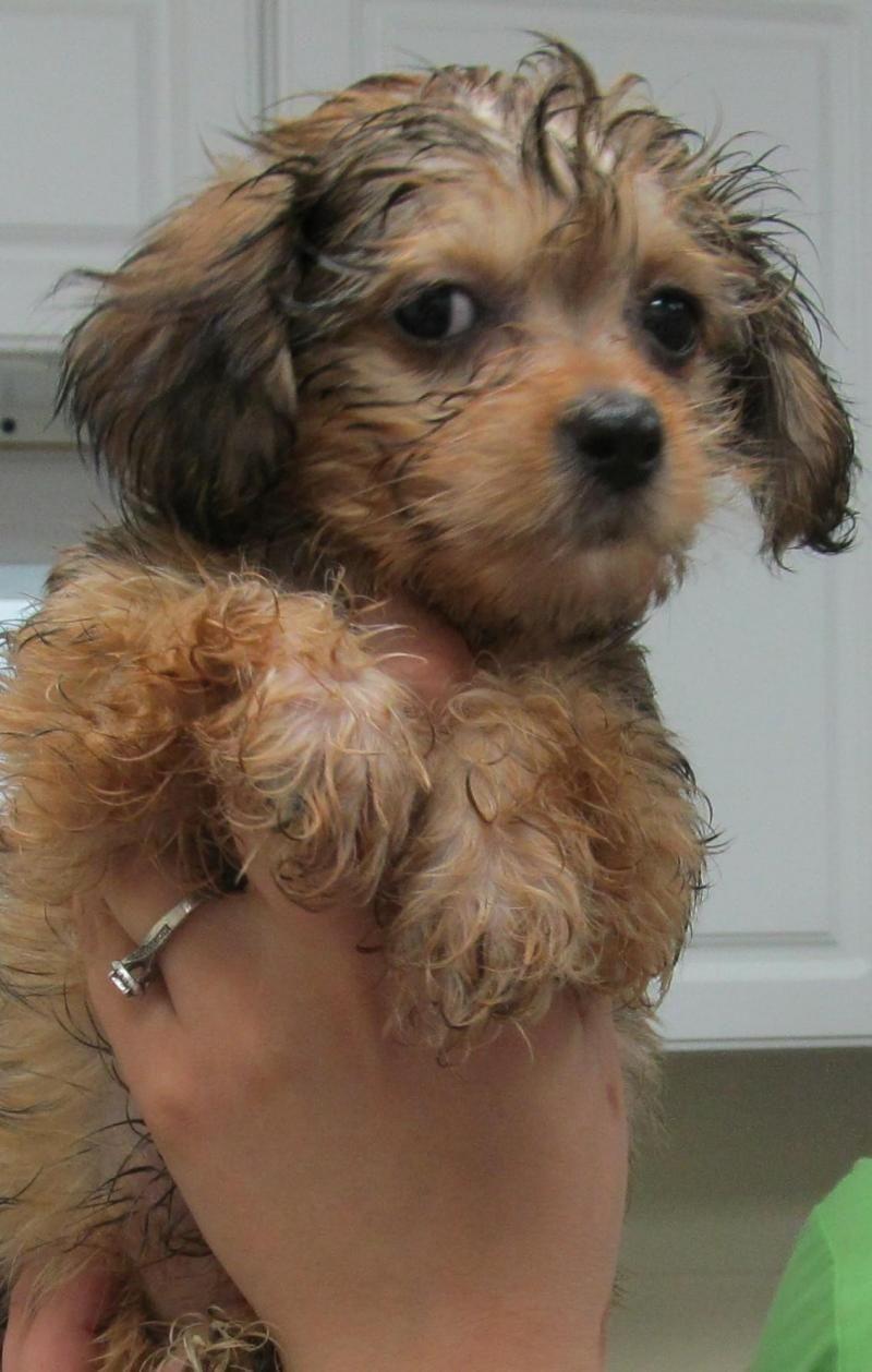 Adopt 75b Evelyn Adopted On Adoptable Dachshund Dog Adoption