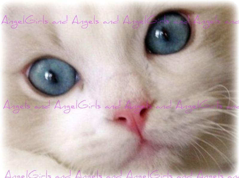 Angel Girls Ragdoll Cats Kittens Located In Washington Dc Metro Area Ragdoll Kitten Kittens Cutest Ragdoll Cat