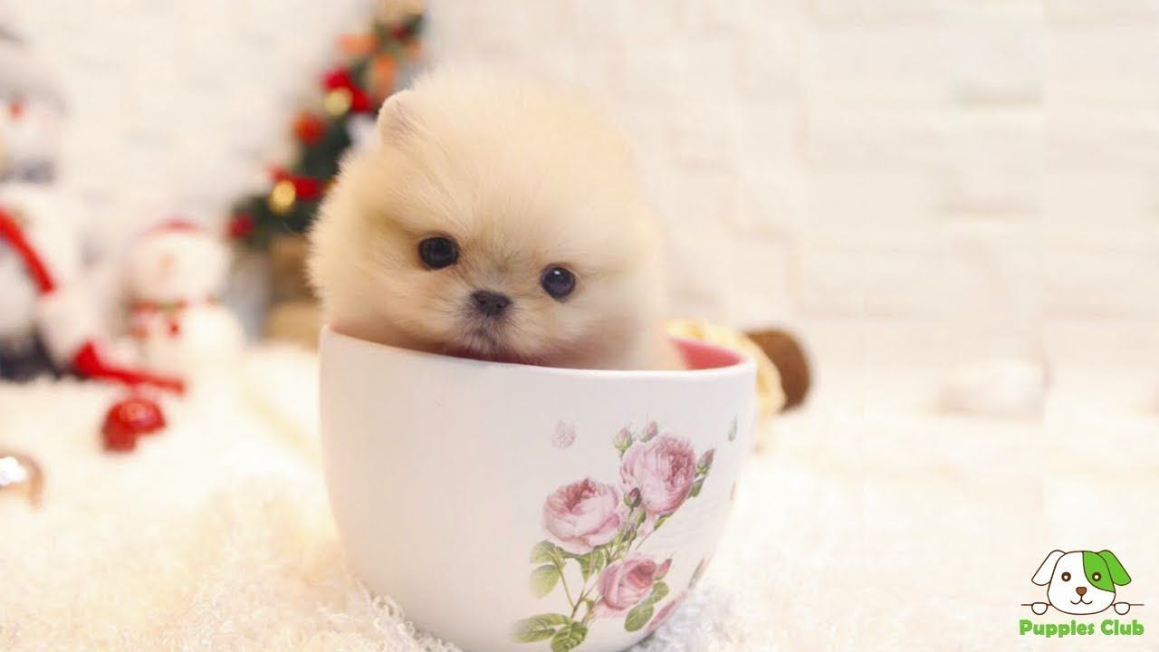 Like Any Other Type Of Breeds The Teacup Pomeranian Not Only Has A Long And Interesting History Behi In 2020 Pomeranian Puppy Teacup Pomeranian Puppy Teacup Pomeranian