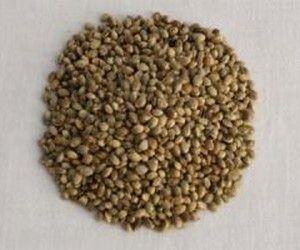 As sementes de cânhamo serão talvez as melhores proteínas vegetais que existem mas é preciso redescobri-las pois caíram em desuso actualmente.