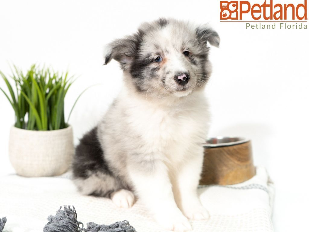 Petland Florida Has Shetland Sheepdog Puppies For Sale Check Out All Our Available Puppies Shetlan Puppy Friends Sheep Dog Puppy Shetland Sheepdog Puppies