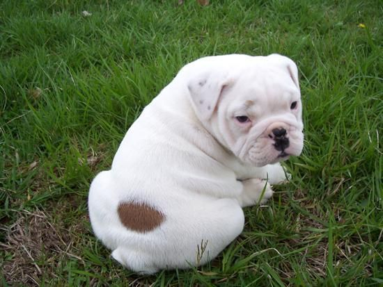 This English Bulldog Puppy Rolls Down A Hill Is The Happiest Thing