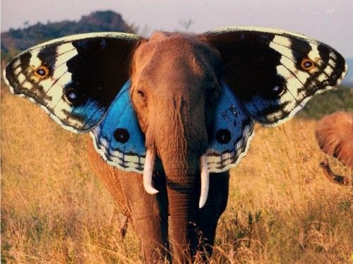 Elephant with butterfly ears?