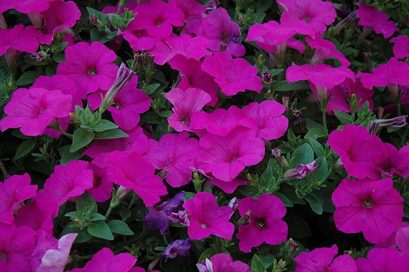 160 Petunia Easy Wave Neon Rose Trailing Spreading Wave Type Live Plants 133 Petunia Easy Waves Petunias Live Plants