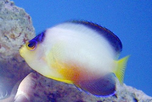 7 Multicolor Dwarf Angelfish