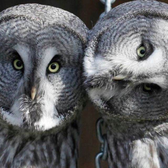 """A normal """"couple"""" of Owls..."""
