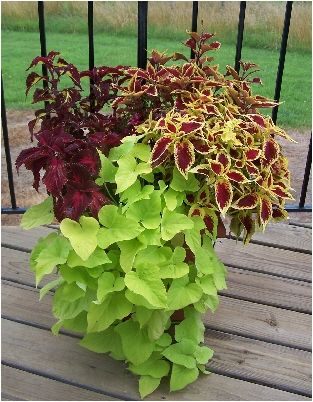 Annual Flowers For Sun Plants Garden Inspiration Potato Vines
