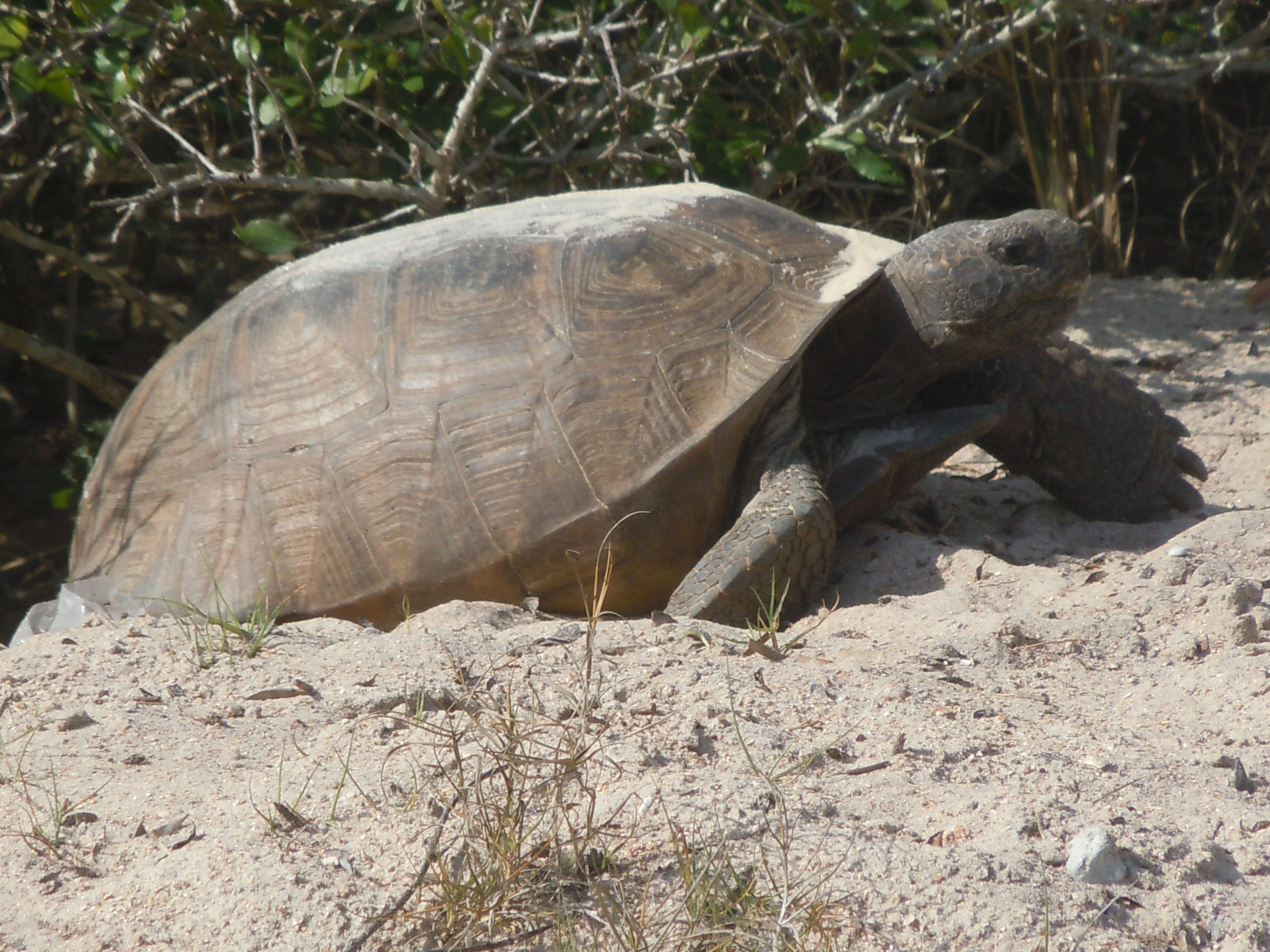 Gopher Tortoise in Flagler Beach, Fl. (With images