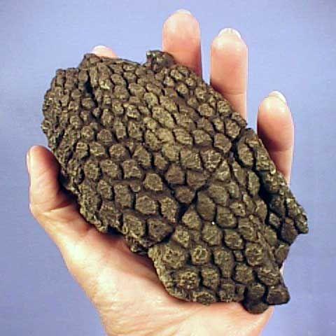 Triceratops Skin Sample.jpg