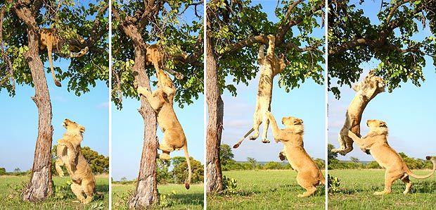 León baja a su hermano del árbol