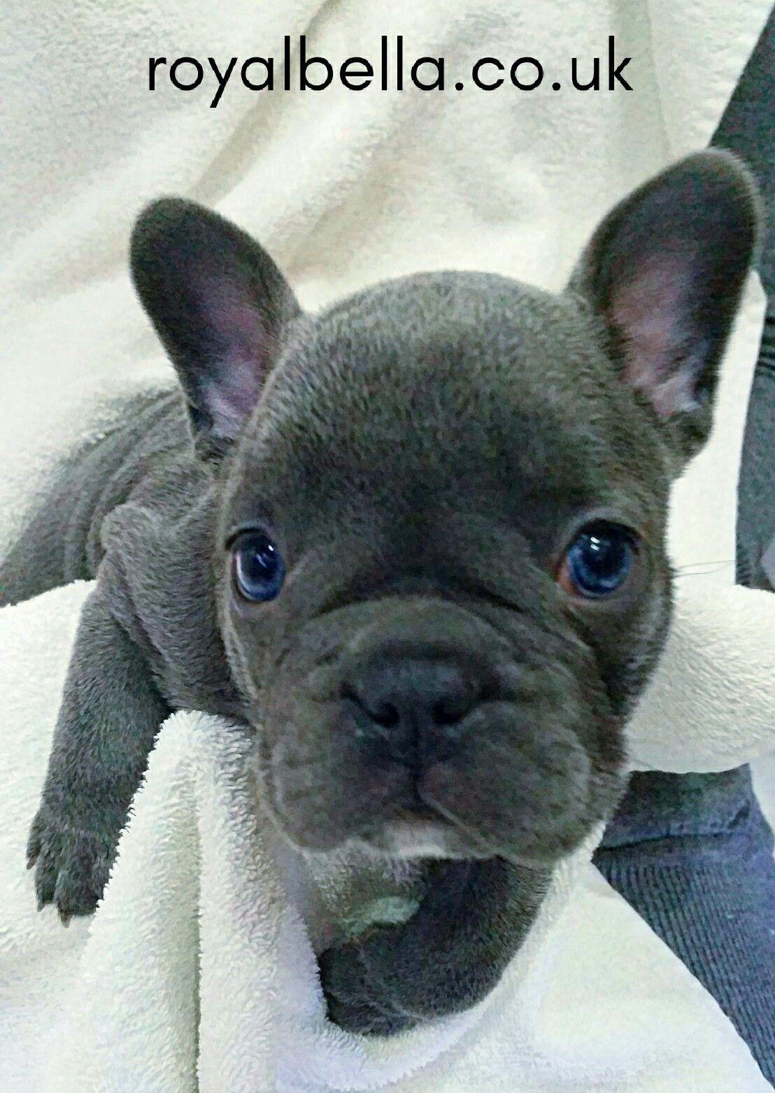 French Bulldog puppy by royalbella.co.uk The French