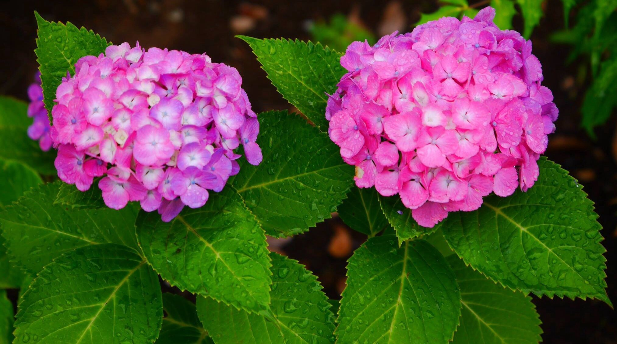 Hydrangea-photo by Nishioka