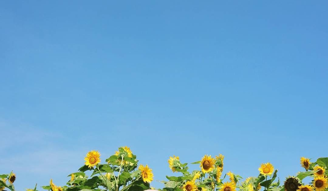 Terkeren 10 Bunga Matahari Tumbuh Di Daerah Kebun Bunga Matahari Bantul Spot Selfie Baru Yang Ngehits Budidaya Kebu Di 2020 Bunga Biji Bunga Matahari Bunga Matahari