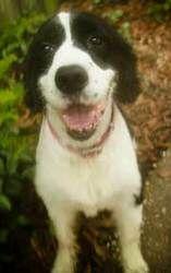 Adopt Gracie Fl On Dog Sounds English Springer Springer Rescue