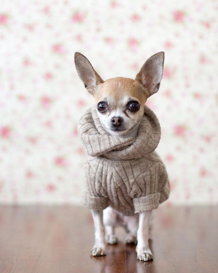 Led Pet Collar Blue L Cute Chihuahua Chihuahua Love Dog