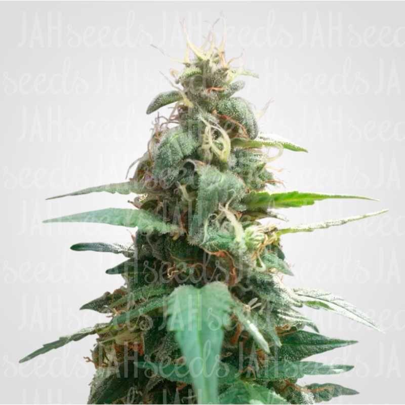 Купить семя конопляное растишка черные семена марихуаны