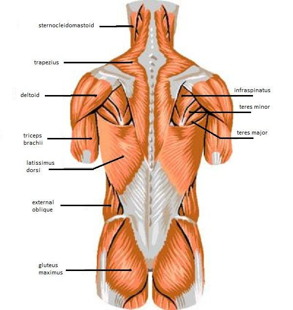 Skeletal muscle review muscles pinterest skeletal muscle and muscles ccuart Images