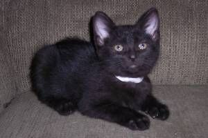 Dora is an adoptable Domestic Short Hair-Black Cat in Canton, IL. Hi everyone! My name is Dora and I am a sweet 9 week old kitten looking for a loving forever home. I am currently staying in a foster ...