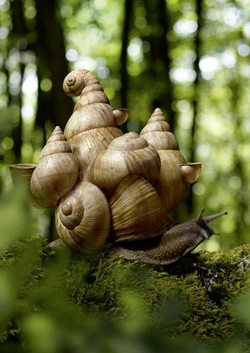 Snail      {Talk about carrying a load!  Are those other snails stuck to the big one or is it just amazing!  It's amazing either way.  Now I may never eat escargot again}