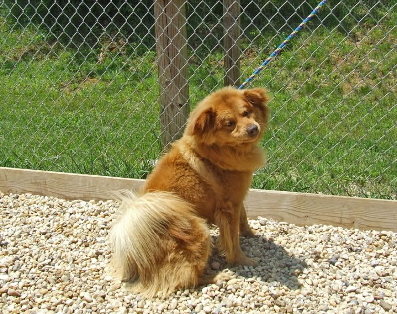 Chow Chow Mix Sheltie Image By Sweet72947 On Photobucket Dogs