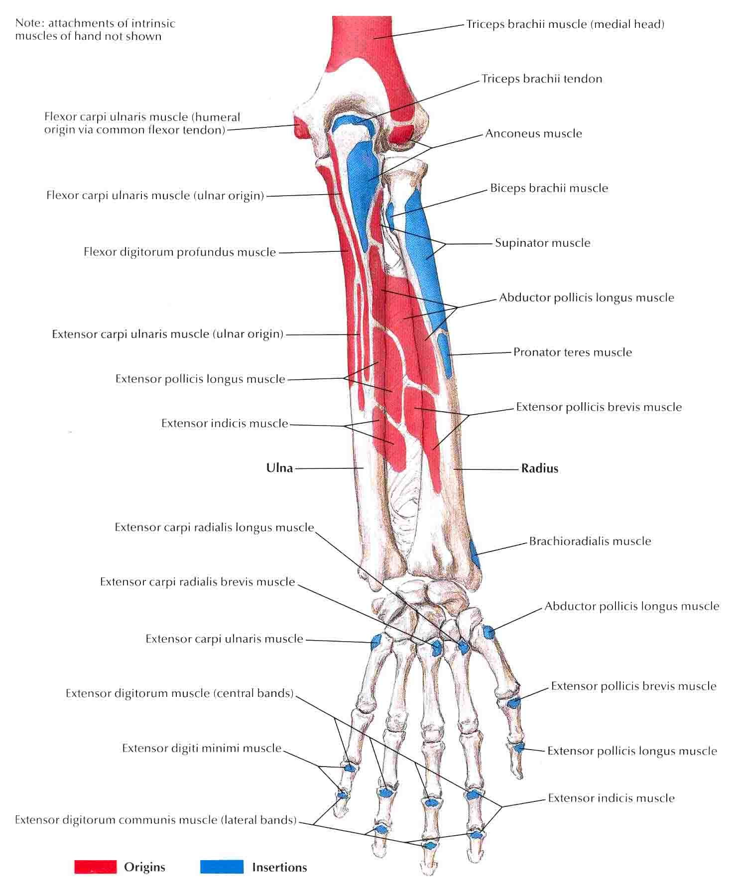 Human Muscles Labeled Diagram For Kids Pta T Muscle