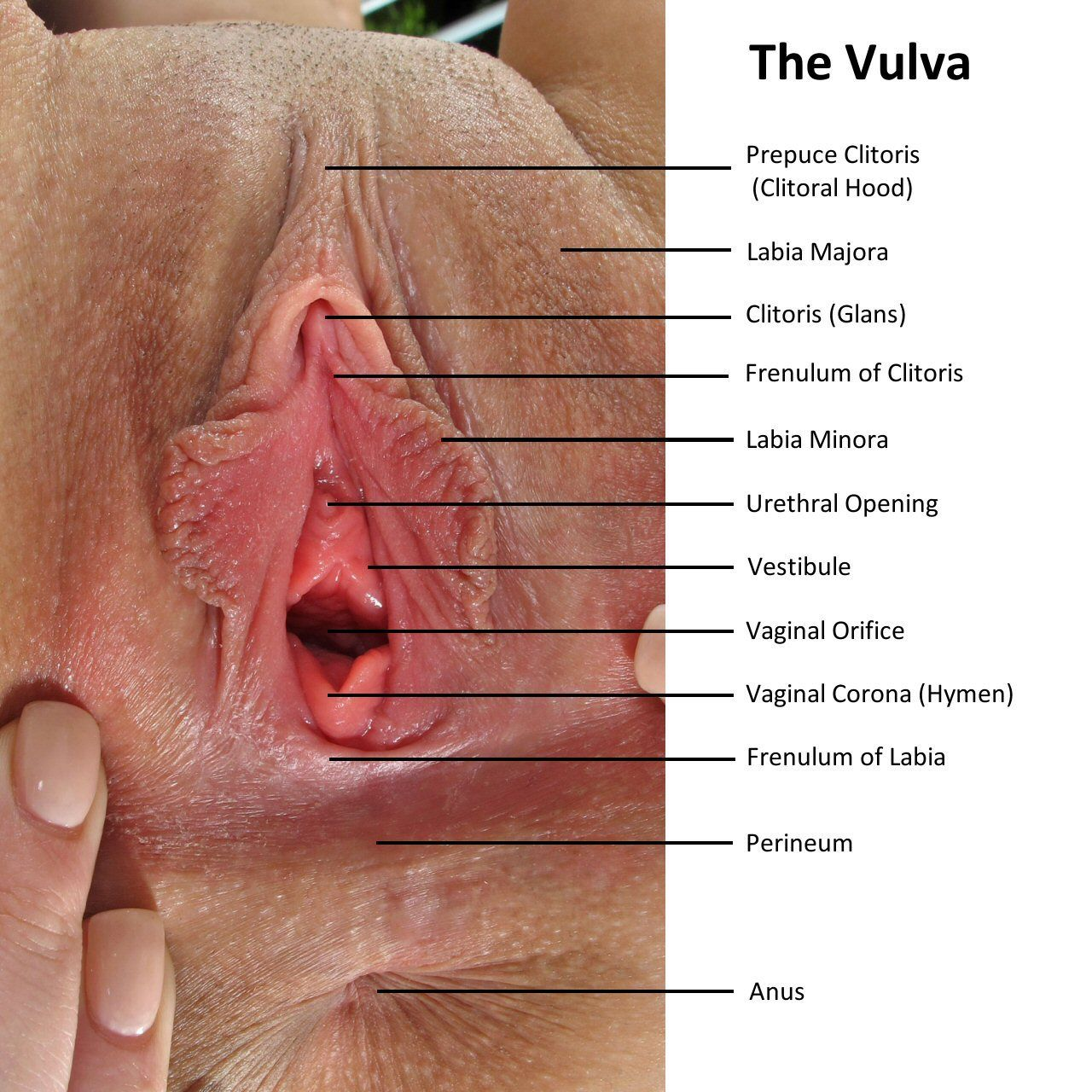 Vulva Anatomy The Vulva Are The External Female Genitals That