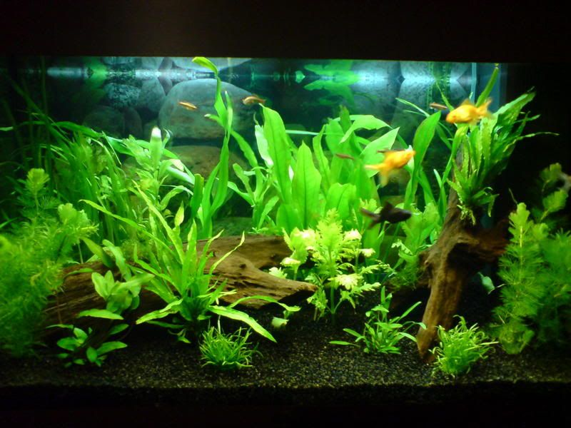 Inspiration for sorority layout the planted tank for Can tropical fish live with goldfish