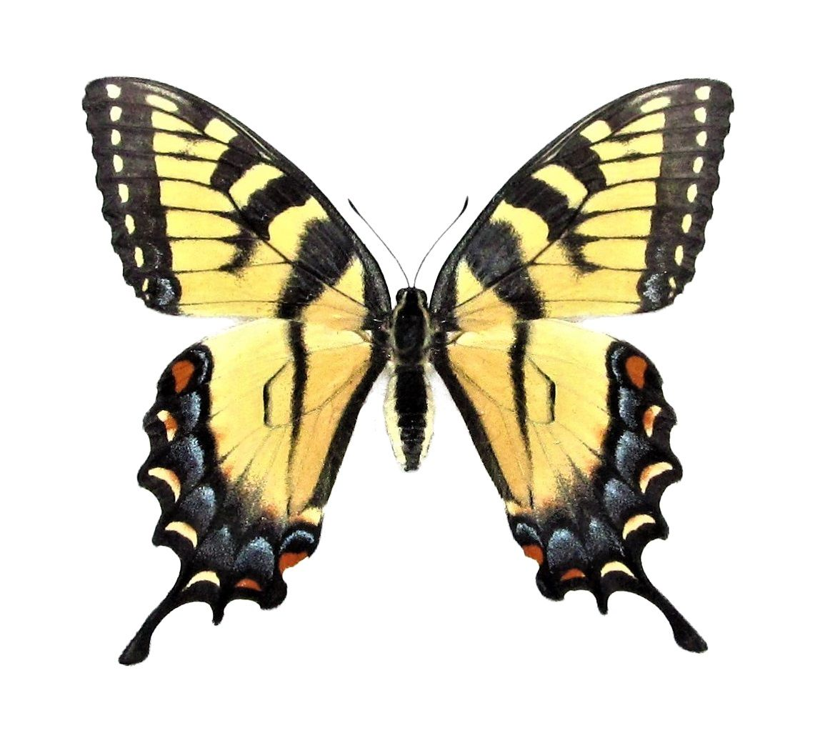 Bicbugs Papilio Glaucus Tiger Swallowtail Female Yellow Black Butterfly Indiana Yellow Butterfly Tattoo Tiger Butterfly Tattoo Black Butterfly